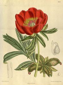 Paeonia_peregrina da wikispecies
