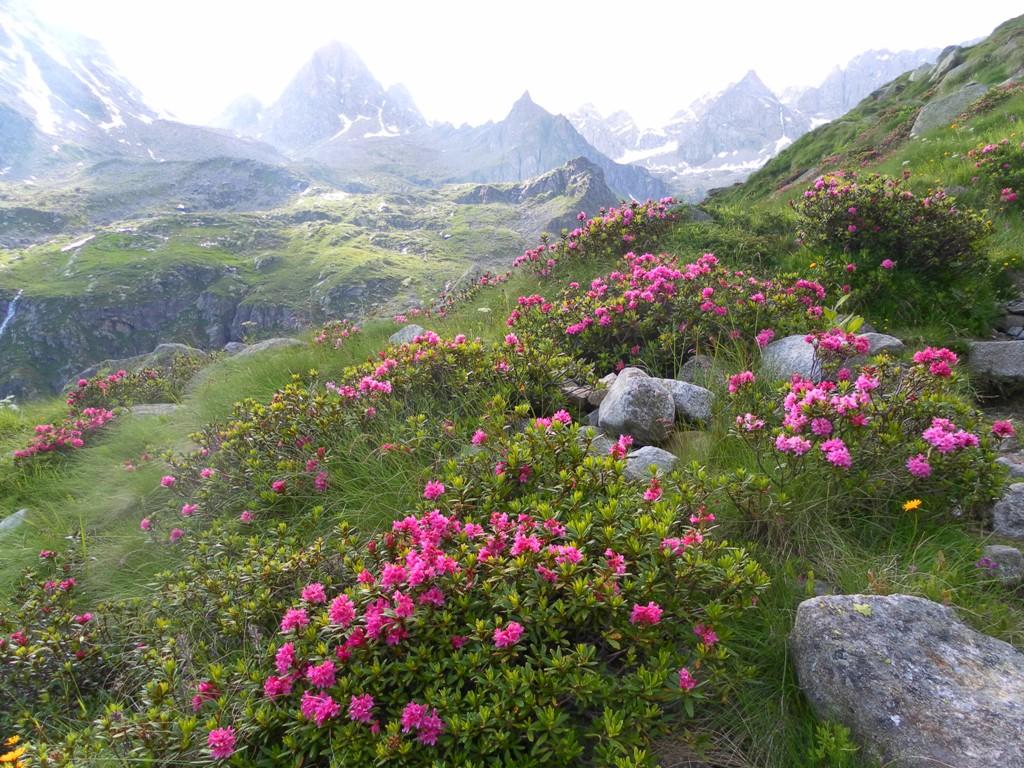 Credenza Da Montagna : Rosa delle alpi i camosci bianchi