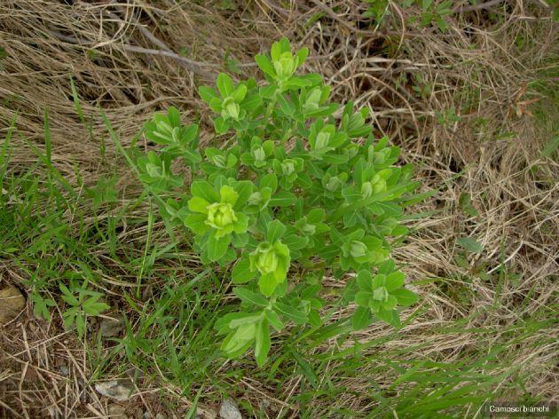 Euphorbia gibelliana Peola