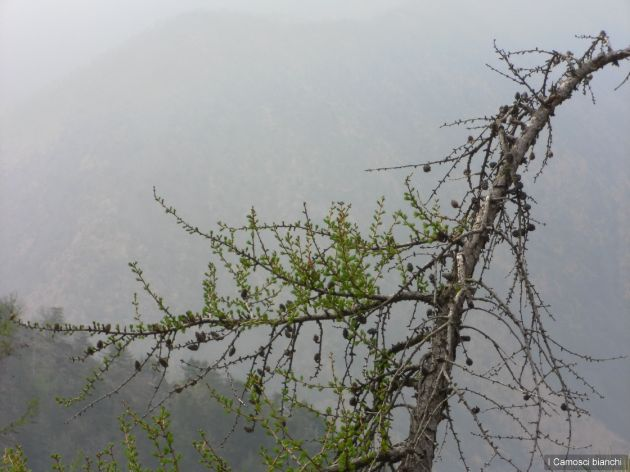 Larice - risveglio della natura