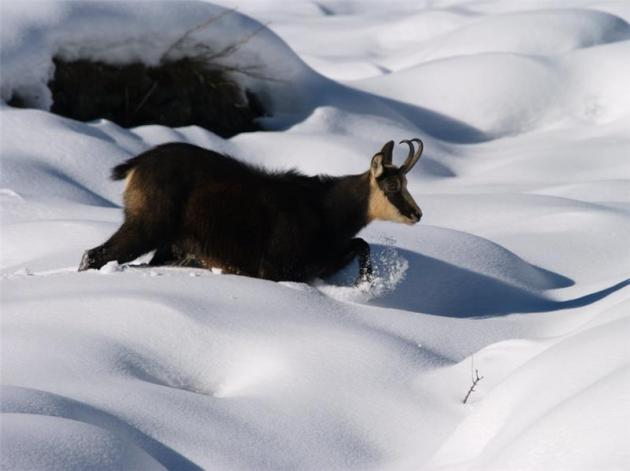 camoscio neve